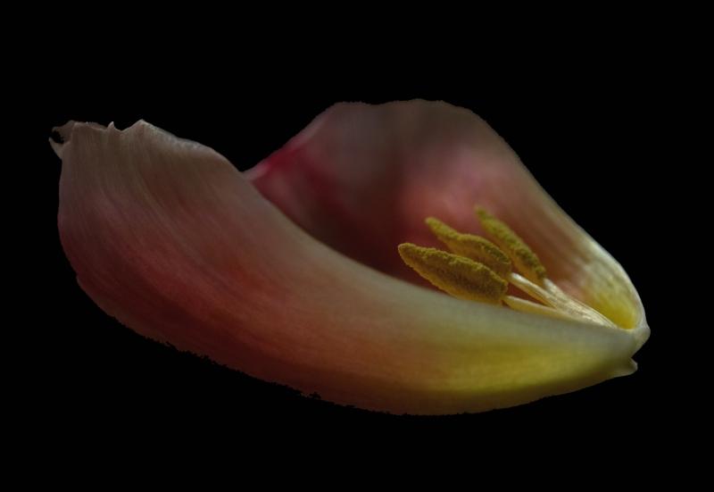 13.Tulip