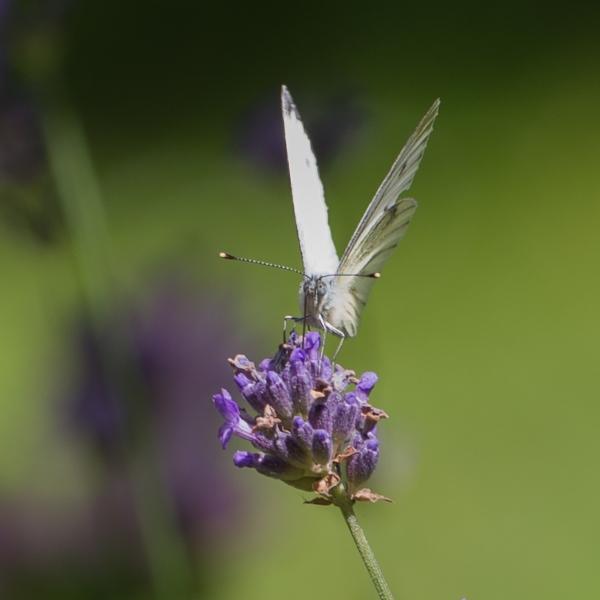 135 Butterfly