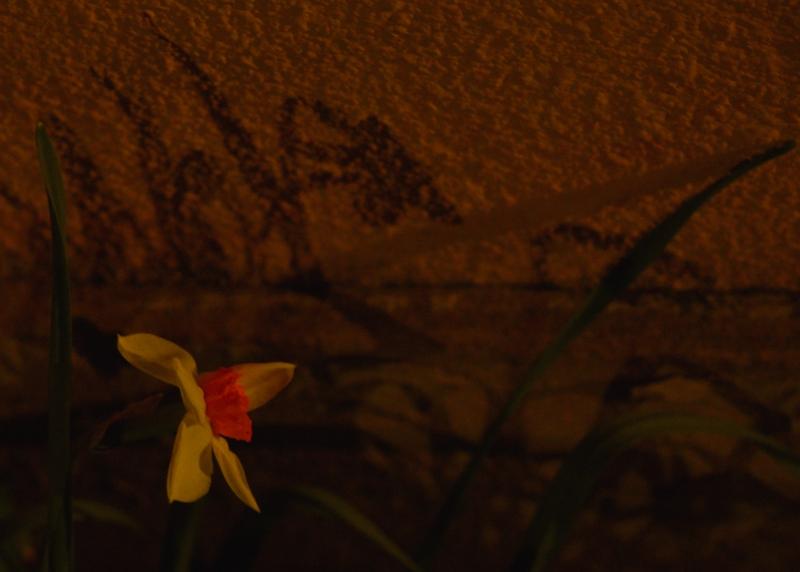 38 daffodil