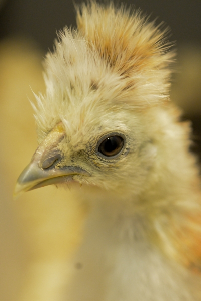 41 Kyckling