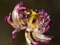 373 Tulip
